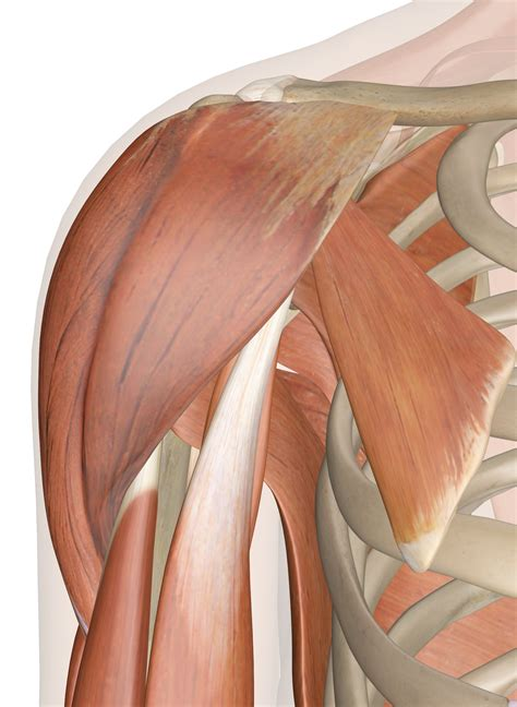 anatomy of shoulder muscles pictures