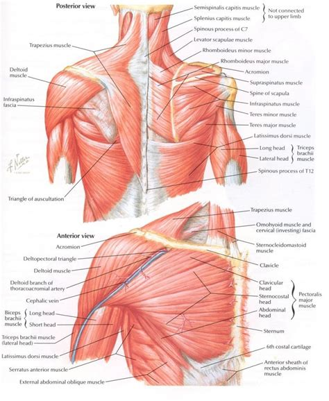 anatomy of shoulder muscles pictures of the human body