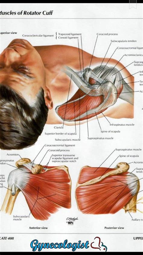 anatomy of shoulder muscles pictures of the human lungs diagram