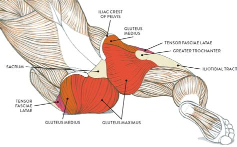 anatomy of the hip and buttocks