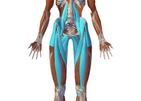 anatomy of the hip flexor muscles stretches