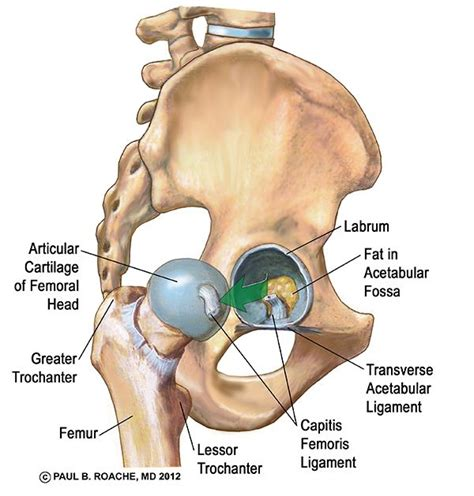 anatomy of the hip muscles ligaments tendons journal sentinel