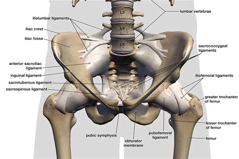 anatomy of the hip muscles pelvis female ligaments