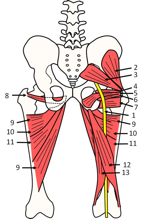 anatomy of the hip muscles pelvis pushing tin