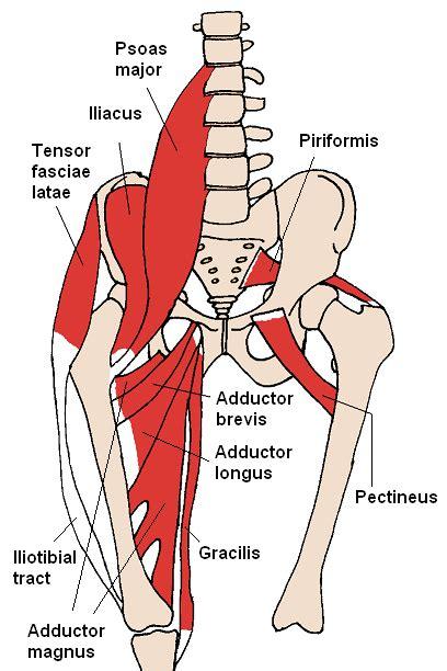 anterior hip flexor anatomy