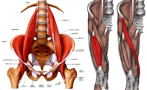 anterior hip flexor anatomy muscles back right