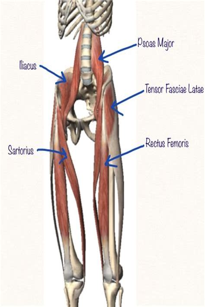 anterior hip flexor anatomy muscles of the human head