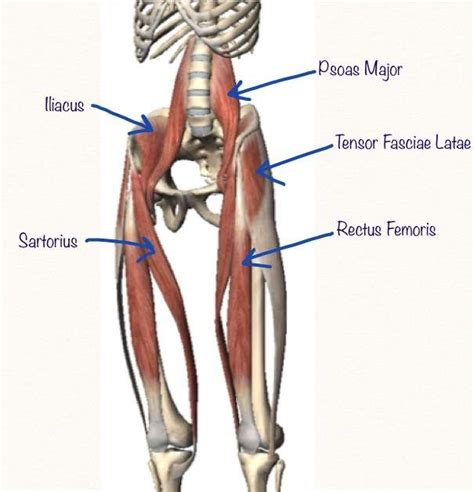 anterior hip flexor anatomy muscles quizlet