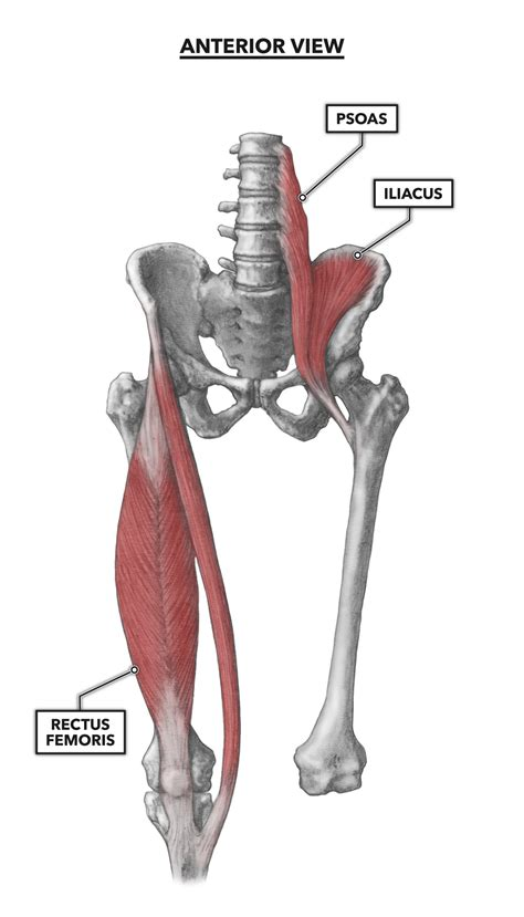 anterior muscles of the hip & thigh muscles