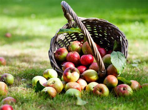 Apfel Erntezeit