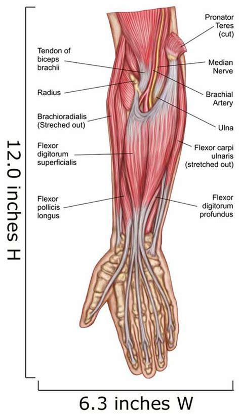arm muscle anatomy pictures