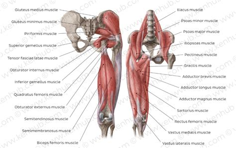 back and hip muscle charts with functions