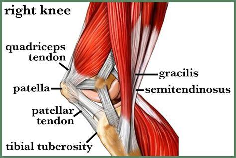 back of knee tendons diagrams