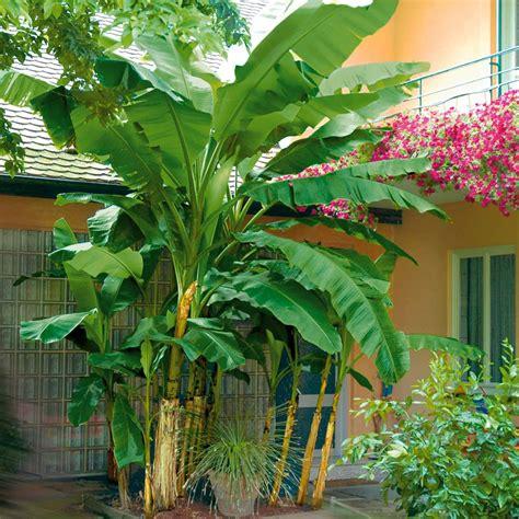 Bananenbaum Im Garten