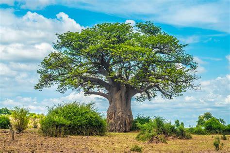 Baum Pflanzen Afrika