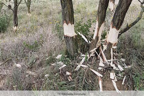Baum Zum Absterben Bringen