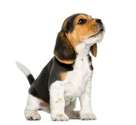 Beagle Puppy Wont Stop Barking