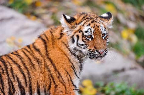 Bilder Von Tiger Große Katze Tiere 2048x1152