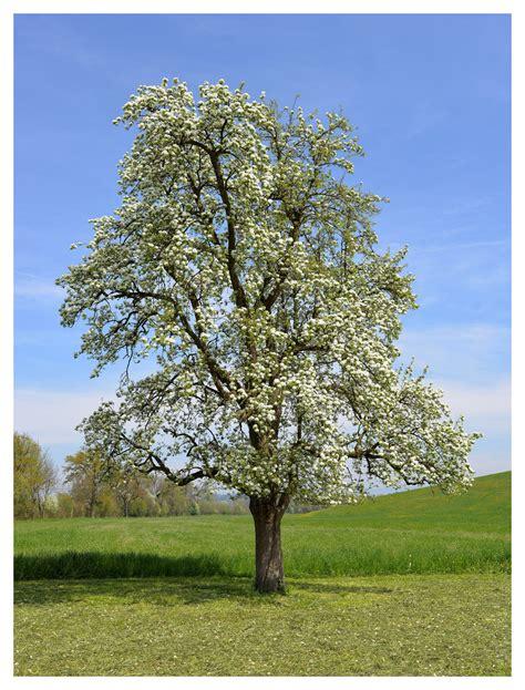 Birnbaum Pflanzen