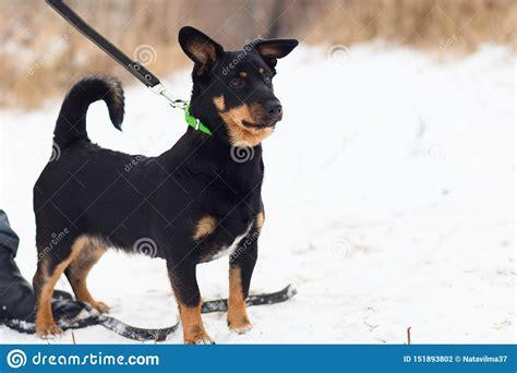 Black Dog Training