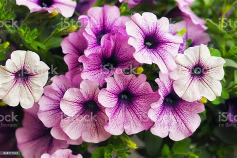 Blumen Garten Lila