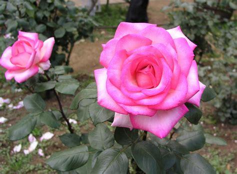 Blumen Garten Rose