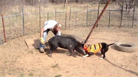 Boar Hunting Dog Training
