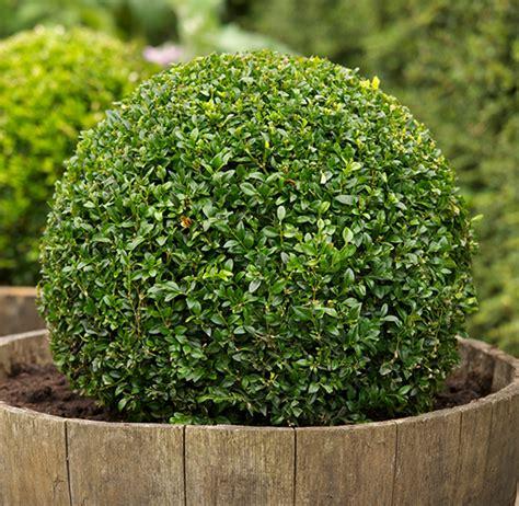 Buxus Planten Kopen