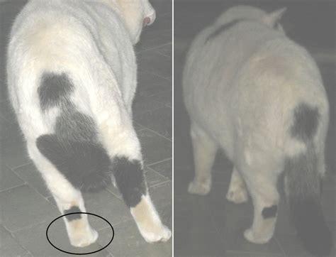 cat injured back leg or hip problems