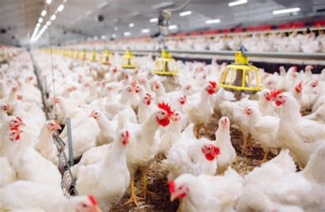 chicken farming tips
