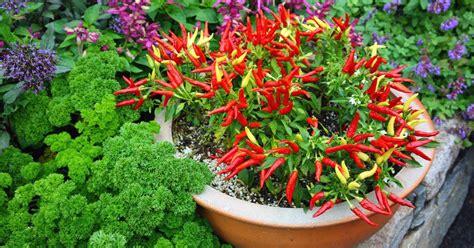 Chili Pflanze Pflege