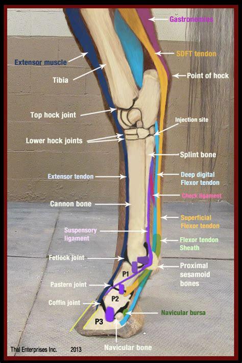 common hip flexor injuries on horses