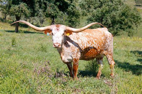 Credit Card Knife For Sale Bull Horns Bull Skulls Taxidermy For Sale Longhorn