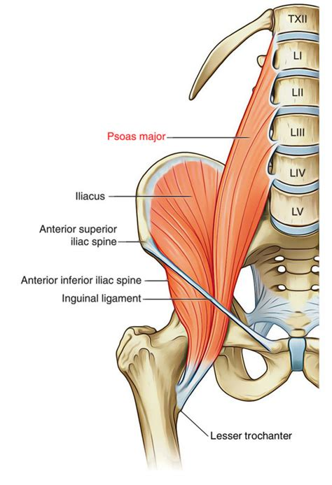 deep hip flexor muscles palpation meaning of christmas