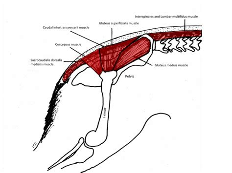 deep muscles of the hip canine distemper in humans