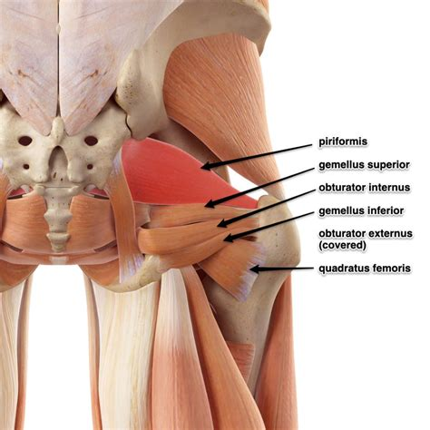 deep six muscles of the hip function