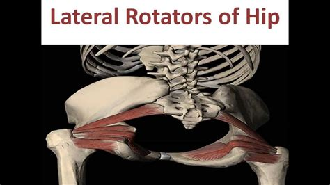 deep six muscles of the hip function animation