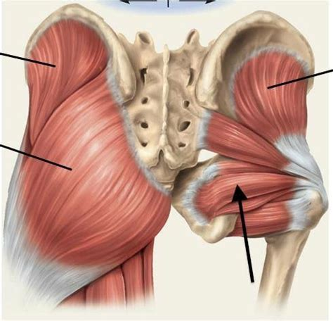 deep six muscles of the hip pictures and labels