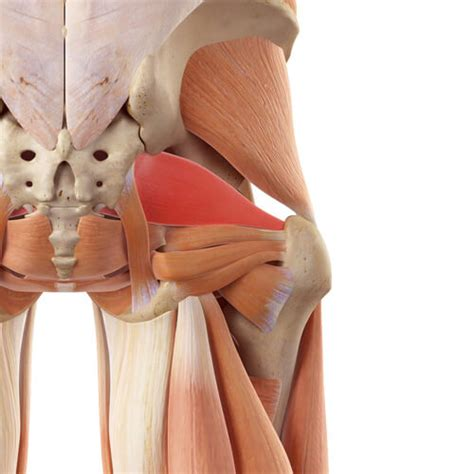deep six muscles of the hip pictures of bad