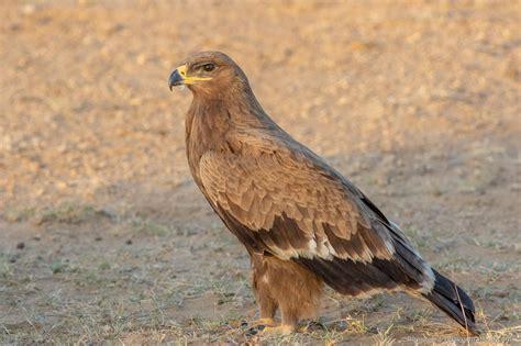 Desert-Eagle Desert Animals Eagles.