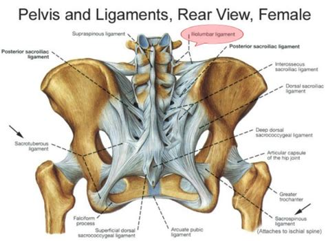 diagram of hip joint from the back