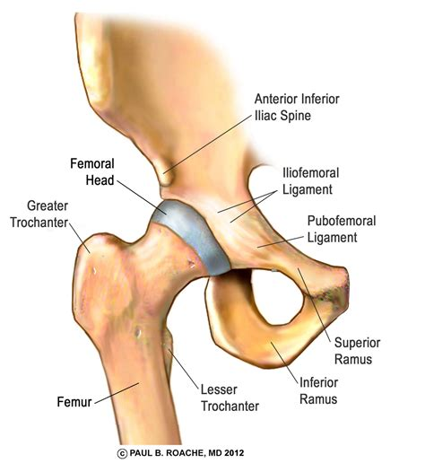 diagram of hip joint location image icon
