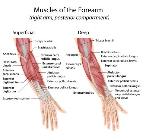 difference between flexor and extensor muscles explanation meaning
