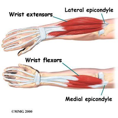 difference between flexor and extensor muscles wrist flexion muscles