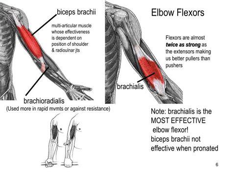 elbow flexion muscles biceps wallpaper