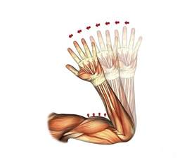 elbow flexion muscles biceps wallpaper for iphone