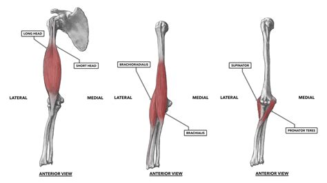 elbow flexion muscles used