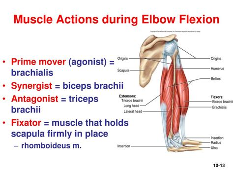 elbow flexion muscles used when running
