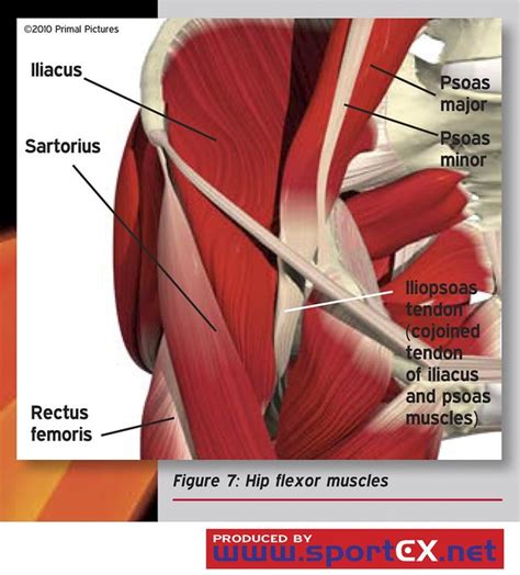 exercises for groin \/hip flexor strains meaning biology dictionary