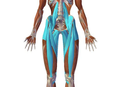 exercises for hip extensors and flexors anatomy of the human